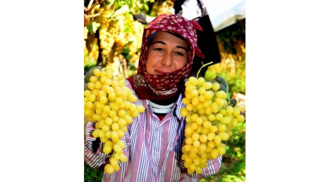 Sultani üzümün fiyatındaki artış üreticiyi sevindirdi