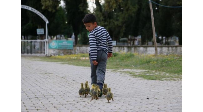 Minik Besim'in kaz yavrularıyla yürek ısıtan dostluğu