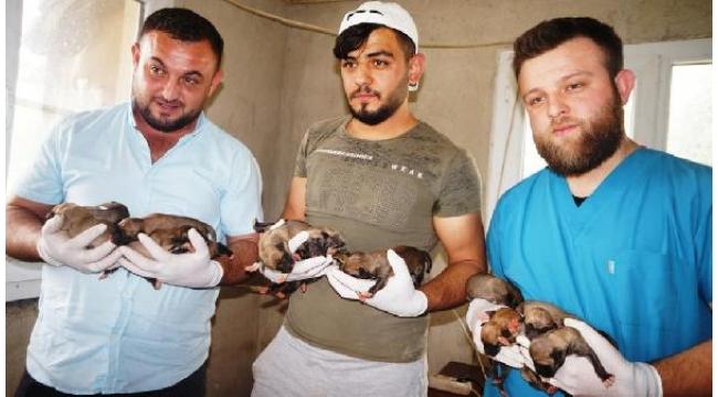 Ölen Anadolu çoban köpeğinin 18 yavrusuna bakıyorlar