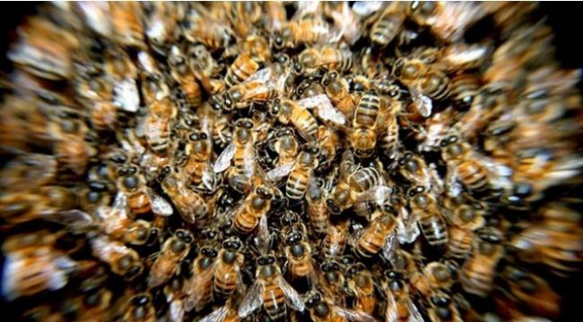 Arıların soktuğu kadın öldü