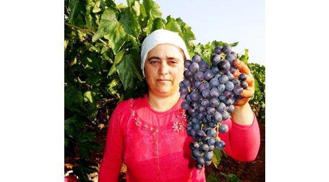 Erkenci 'Trakya ilkeren' cinsi üzüm hasadına başlandı