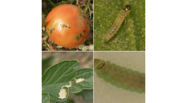 Turgutlulu domates yetiştiricilerinin dikkatine!