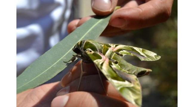 Bitkin halde bulduğu Mekik Kelebeği'ni elleriyle besliyor