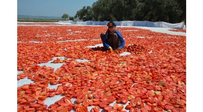 Kurutmalık domatesler tarlalara serildi