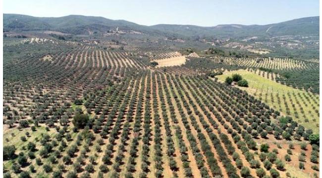 Zeytin üreticisinin 'düşük rekolte' sıkıntısı