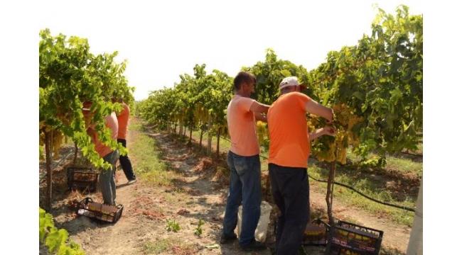 Hükümlülerin ürettiği sofralık üzüm, kalitesiyle ihracatçıların ilgisini çekti