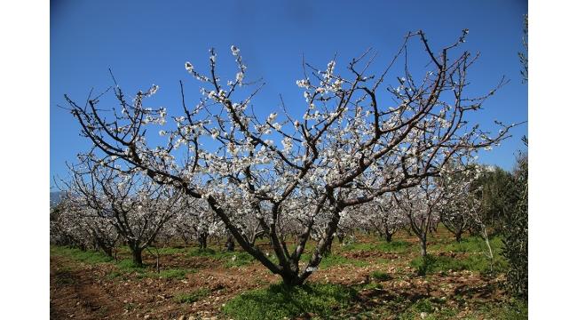 Beyaza bürünen kiraz bahçeleri üreticileri umutlandırdı
