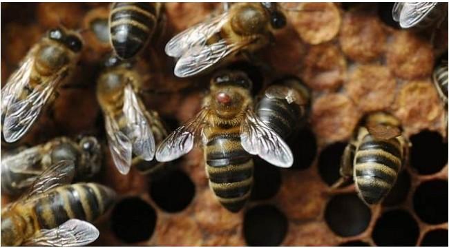 Turgutlu İlçe Tarım'dan arıcılara varroa ilaçlaması uyarısı