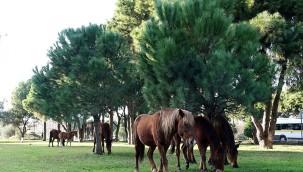 Manisa'da yabani yılkı atları, şehre indi