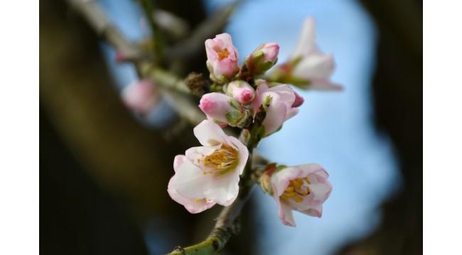 Turgutlu'da badem ve erik ağaçları çiçek açtı