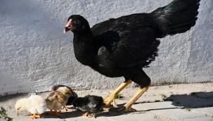 4 ayaklı doğan civciv 2 gün sonra öldü