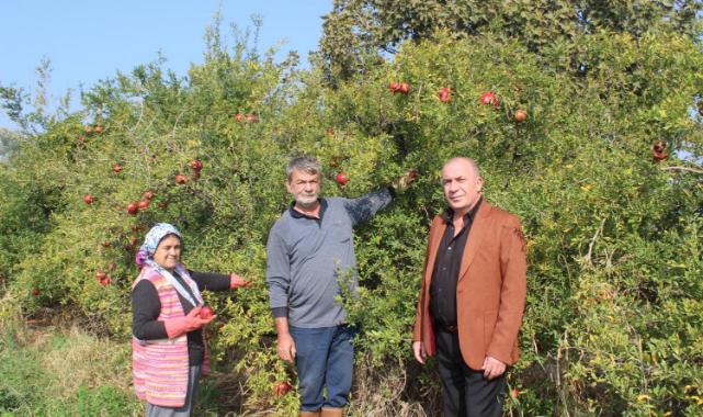 Salihli'de 'lifon' cinsi nar hasadı başladı